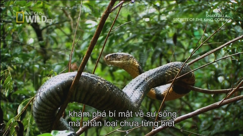 Secrets Of The King Cobra